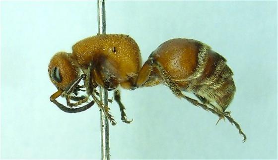 Mutillid - Timulla ferrugata - female