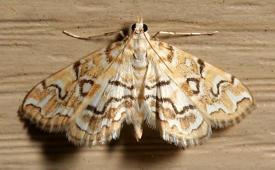 Pondside Pyralid Moth - Elophila icciusalis