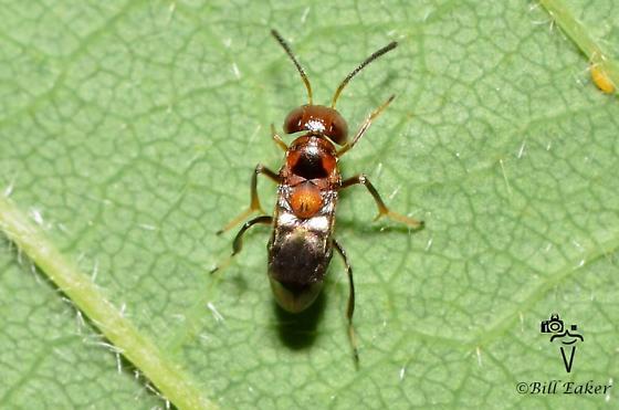 Chalcid Wasp? - Encyrtus