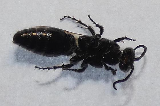 Tiphiidae sp.
