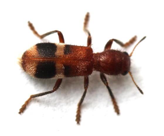Enoclerus rosmarus