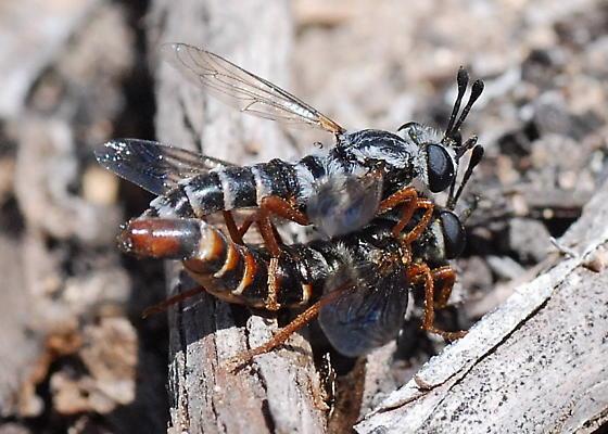 Mydids Making Love - Pseudonomoneura hirta - male - female
