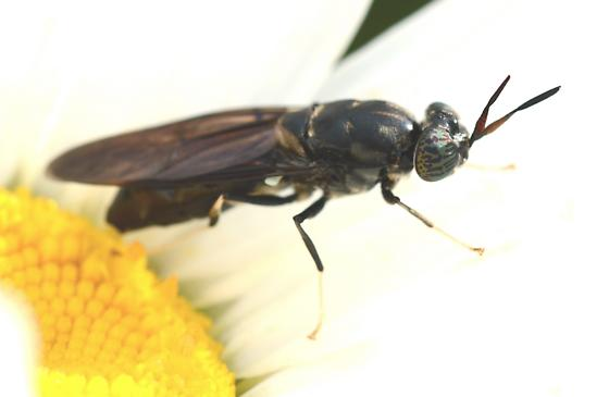Long fly - Hermetia illucens