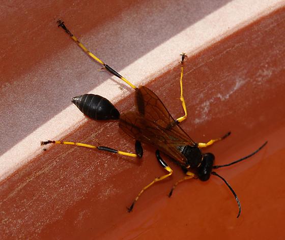 Wasp for ID - Sceliphron caementarium