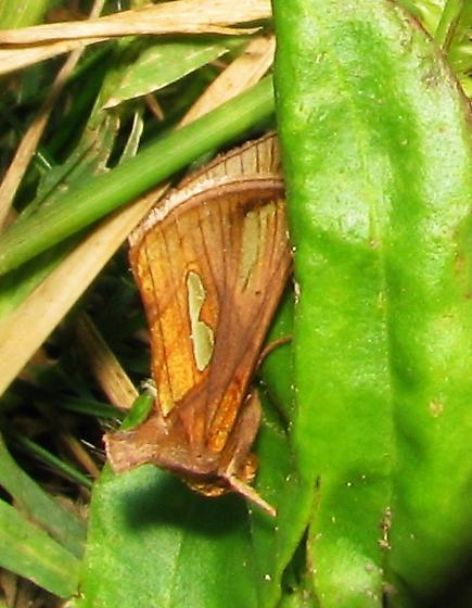 Looper near the ground - Plusia contexta