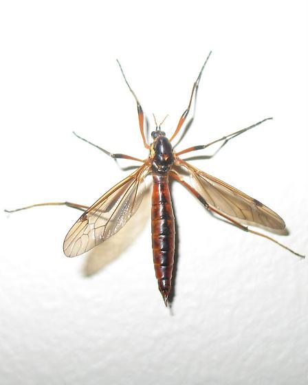Seattle large bug - Phoroctenia vittata