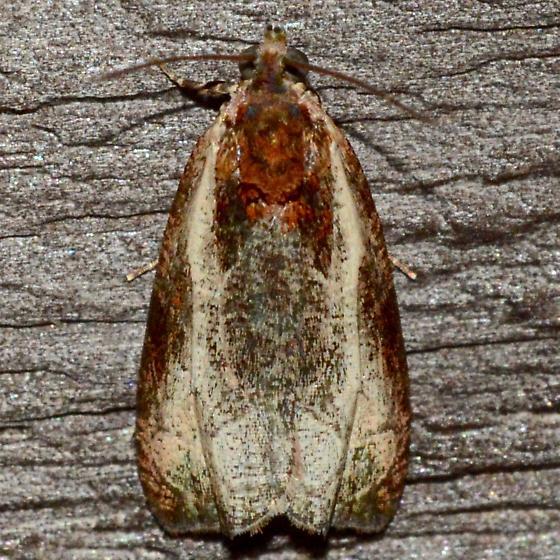 Olethreutes sp. Moth