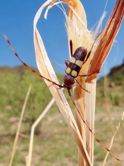 Aethecerinus latecinctus