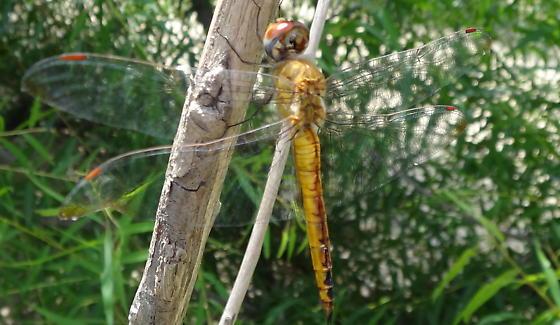 Wandering glider (Pantala flavescens) - Pantala flavescens - female