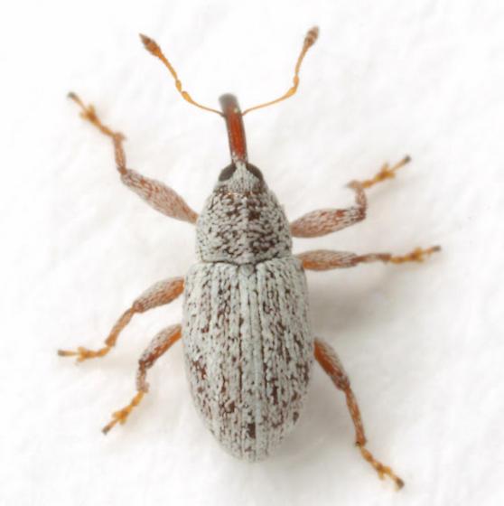 Anthonomus decipiens LeConte - Anthonomus decipiens