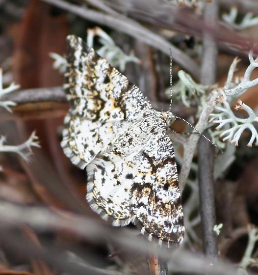 6639 Sharp-lined Powder Moth - new for New Brunswick - Eufidonia discospilata - female