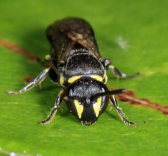 small bee - Hylaeus modestus