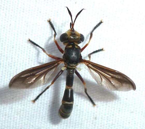 unknown - Physoconops brachyrhynchus