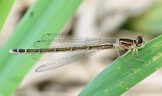 Taiga Bluet - Coenagrion resolutum - female