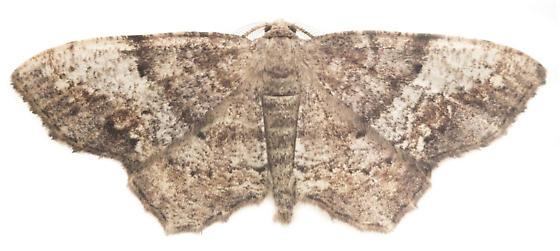 Esther Moth Male - Hypagyrtis esther