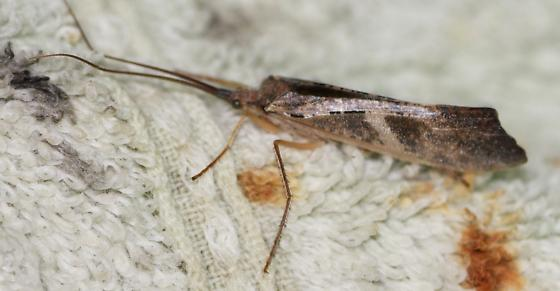 Nemotaulius hostilis? - Nemotaulius hostilis