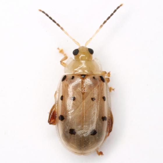 Walterianella durangoensis (Jacoby) - Walterianella durangoensis