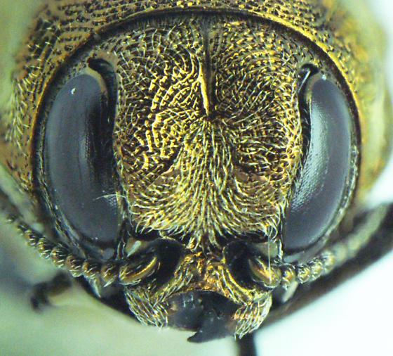 Agrilus obtusus - female