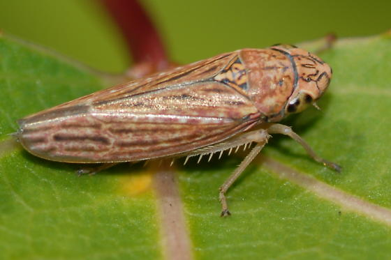 Leafhopper - Graphocephala gothica