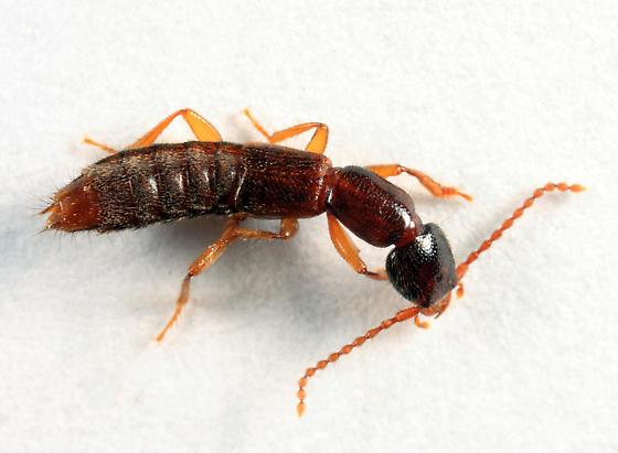 rove beetle - Lathrobium - female