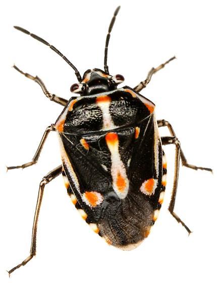 Bagrada Bug? - Bagrada hilaris