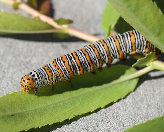 please help id this caterpillar... - Eudryas unio