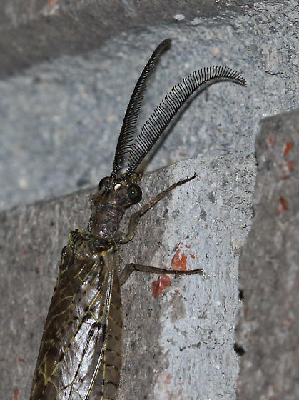 Who is this? - Chauliodes rastricornis