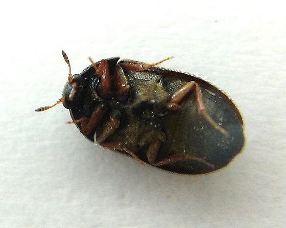 Another Dermestid - Attagenus unicolor - female