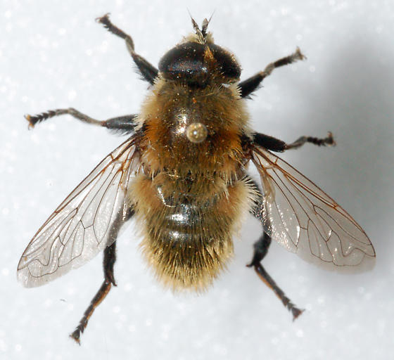 Unkonwn Syrphid - Merodon equestris - male