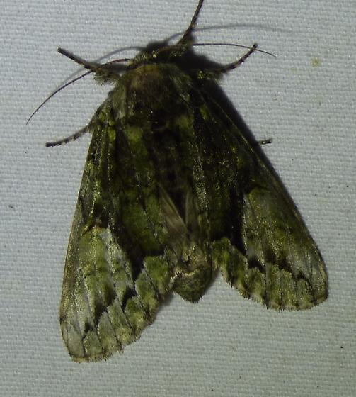 unknown moth - Heterocampa