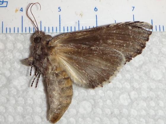 Moth #3 - female