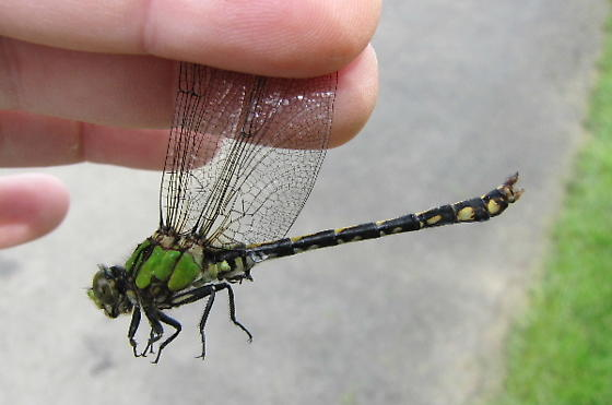 Brook Snaketail - Ophiogomphus aspersus - male
