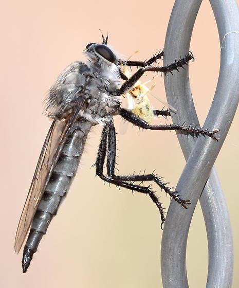 robberfly - Promachus - female
