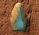 Huge tortricid? - Amorbia cuneanum