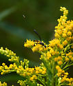 Very tiny parasitic (?) wasp - Gasteruption - female