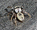 Spider at sand dunes - Phidippus asotus - male