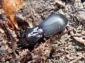 Ground Beetle - Pterostichus rostratus