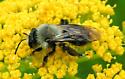 Andrena - female