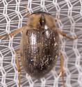 Small Beetle - Berosus