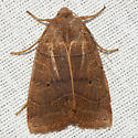 Silky Sallow Moth - Hodges #9950 - Chaetaglaea sericea