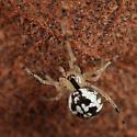 spider - Phylloneta pictipes