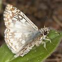 Butterfly IMG_1094 - Pyrgus oileus
