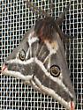 Moth  - Agapema dyari
