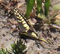 Anise swallowtail? - Papilio zelicaon