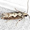 Filigreed Chimoptesis Moth - Hodges #3273 - Chimoptesis pennsylvaniana