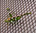 Found this on my steel security door - Insara covilleae - female