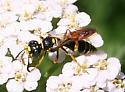 Wasp ID Request - Philanthus gibbosus