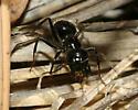 Ant - Camponotus laevissimus