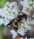 wasp on Queen Ann's lace - Philanthus gibbosus - female
