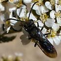 Square-headed wasp? - Krombeinopyga aculeata